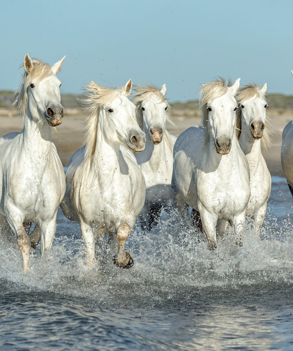 White,Camargue,Horses,Galloping,Along,The,Beach,In,Parc,Regional